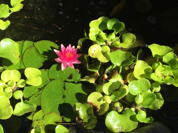 Lily Pad and Floating Hibiscus and water lettuce.